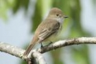 Galapagos Flycatcher by Mick Dryden