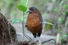Giant Antpitta by Mick Dryden