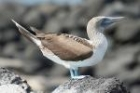 Blue-footed Booby by Mick Dryden