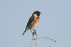 African Stonechat by Mick Dryden
