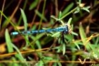 Common Blue Damselfly by Richard Perchard