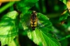 Pendulus Hoverfly by Richard Perchard