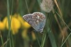 Common Blue by Richard Perchard
