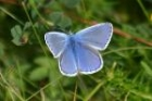 Common Blue by Mick Dryden