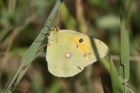 Clouded Yellow by Mick Dryden