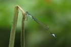 Blue tailed Damselfly by Mick Dryden