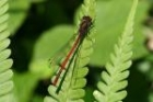 Large Red Damselfly by Richard Perchard