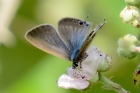 Long-tailed Blue by Alan Gicquel