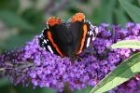 Red Admiral by Mick Dryden