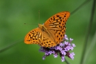 Silver-washed Fritillary by Mick Dryden