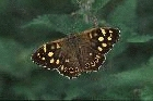 Speckled Wood by Richard Perchard