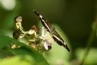 White Admiral by Mick Dryden