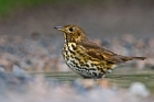 Songthrush by Romano da Costa
