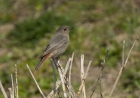 Black Redstart by Bruce Liron