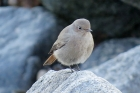 Black Redstart by Alan Gicquel