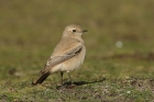 Desert Wheatear by Mick Dryden