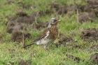Fieldfare by Mick Dryden