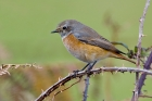 Common Redstart by Romano da Costa