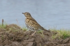 Song Thrush by MIck Dryden