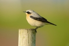 Northern Wheatear by Paul Marshall