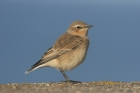 Northern Wheatear by Mick Dryden