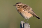 Whinchat by Andy Stoaling
