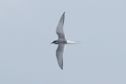 Arctic Tern by Mick Dryden
