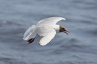 Black-headed Gull by Mick Dryden
