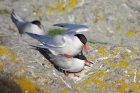 Common Terns by Nick Jouault