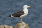 Great Black-backed Gull by Mick Dryden