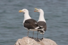 Great Black-backed Gulls by Mick Dryden