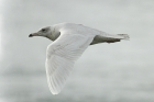 Glaucous Gull by Mick Dryden