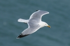 Herring Gull by Mick Dryden