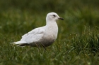 Iceland Gull by Romano da Costa