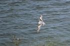 Little Gull by Tony Paintin