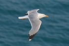 Yellow legged Gull by Mick Dryden