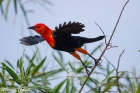 Scarlet-headed Blackbird by Miranda Collett