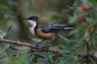 Eastern Spinebill by Mick Dryden