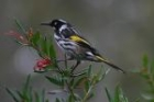 New Holland Honeyeater by Mick Dryden