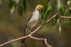 White-plumed Honeyeater by Mick Dryden